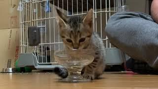 【保護子猫】子猫のタロちゃんはお行儀よくご飯を食べます。