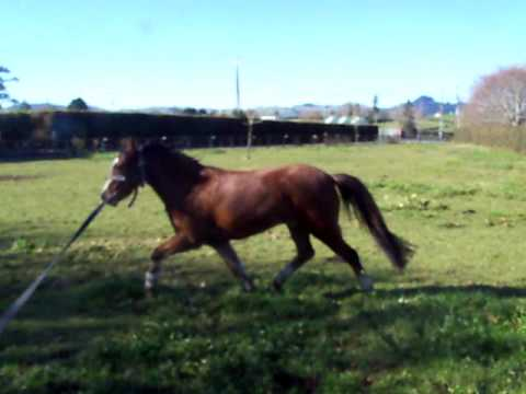 L I L L Y 3yr old amazing pony, watch her jump then stop on comand. VERY bright young pony!
