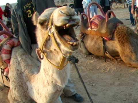Camels Ass 105