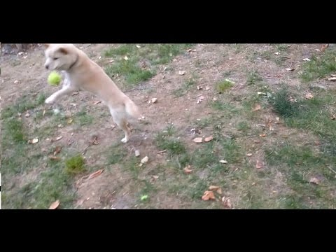 Male Shiba Inu Tricks Puppies To Avoid Sharing Ball