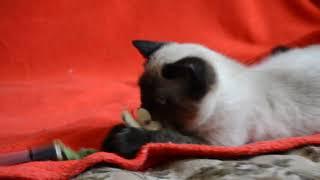 Купить шотландского котенка. Котята для Вас: Шикарные шотландские котята сил-поинт окраса.