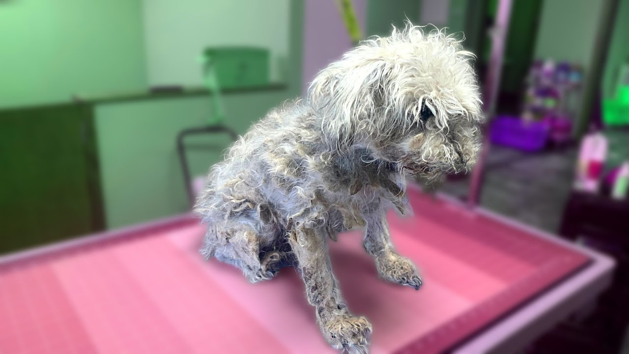 Download EXTREMELY MATTED SCHNAUZER   COMPLETE SHAVE DOWN   Rovers Makeover Dog Grooming