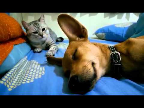 cat-viciously-attacks-sleeping-dog