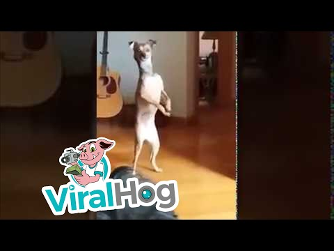 Randy McCarten - Dog Loves Walking On His Hind Legs