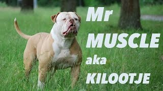Tough Enough Mr Muscle American Bulldog