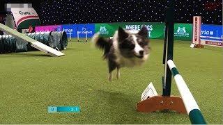 【アジリティ】賢すぎる犬のレース!「これ、走ってる人も大変だ…」【アニマルスポーツ】
