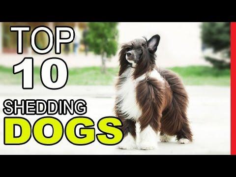 Top 10 Dog Breeds That Hardly Sheding At All