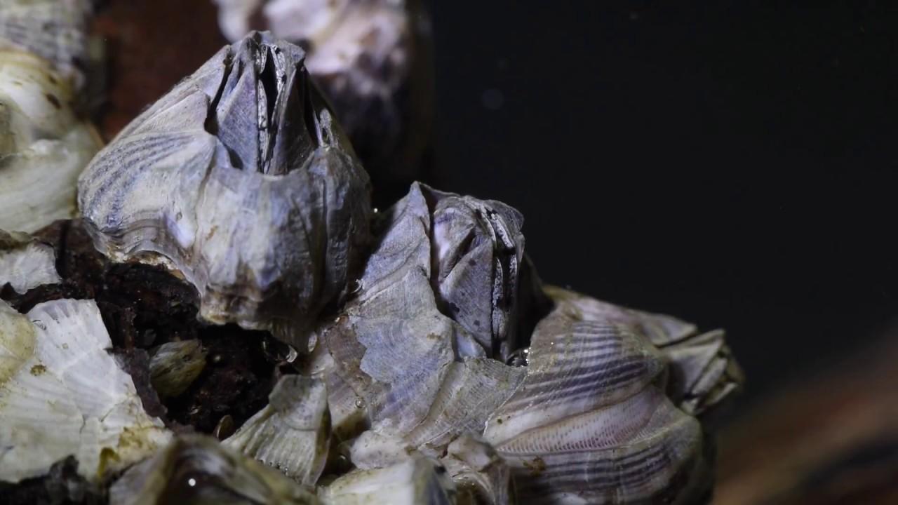 barnacles feeding youtube