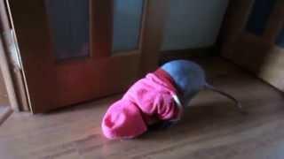 Очень смешной кот в одежде!!! Ходит задом наперёд))