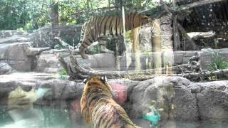 Download Video Tiger Battle at the Hogle Zoo MP3 3GP MP4