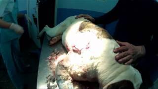 Собака лечение после притравки на кабана.mpg