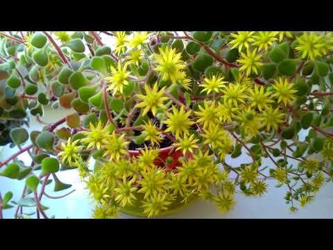 Аихризон или дерево любви и счастья. Неприхотливый цветок.Уход.Размножение.#1#