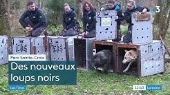 Arrivée de 7 loups canadiens à Sainte - Croix - France 3 Lorraine