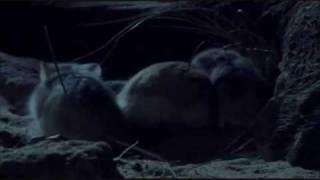 Roborovski hamsters - BBC 'Wild China'