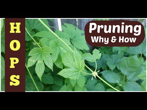 Pruning Hops: 3 Reasons + How-to Tips