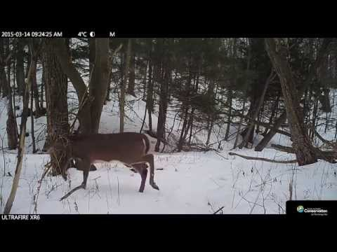 Deer - Scarborough Wildlife Trail Camera (daytime)