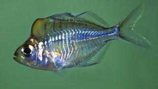 необычные аквариумные рыбки из Мьянмы. Окунь стеклянный гребнелобый, Parambassis pulcinella