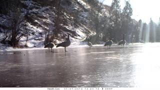 MPG Ranch: Geese and Ducks landing on ice