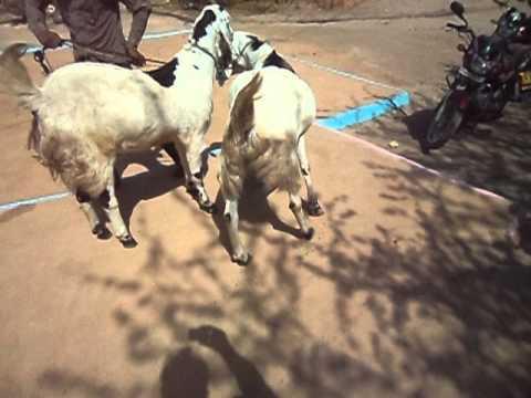 world best goat (kapasan distic chittorgarh )rajasthan ...