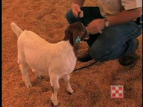 Training Your New Goat for the Show Ring
