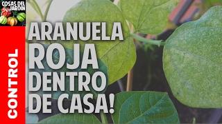 Como controlar la arañuela roja en las plantas de tu balcon @cosasdeljardin