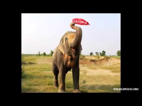 World's Unluckiest Elephant's Journey To Freedom