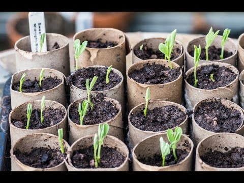 How To Germinate Pea Seeds faster