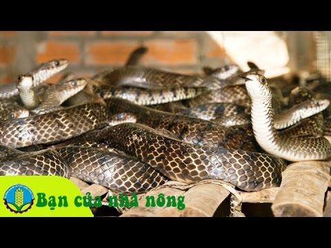 Làm giàu từ mô hình nuôi rắn ráo trâu, hổ trâu, rắn hổ hèn