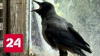 Удар клювом: если ворона напала, значит, в траве лежит птенец - Россия 24