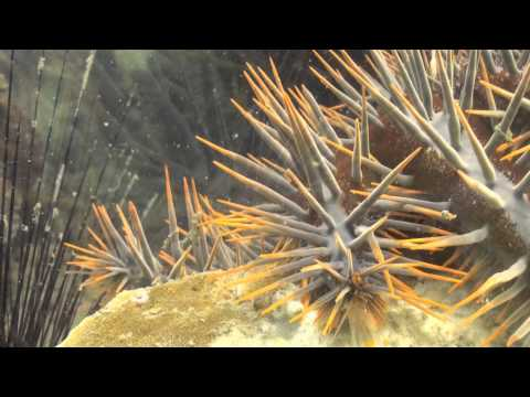 Crown-of-thorns Starfish Мае Haad 20 March 2014 Underwater Video