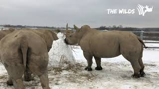 Rhino Snow Day