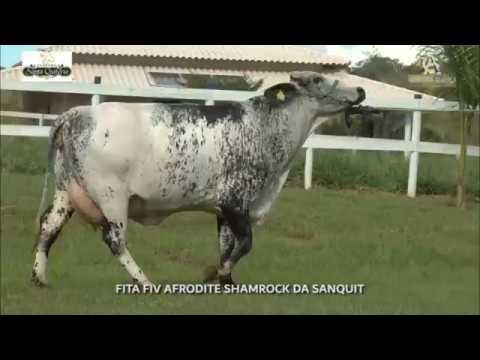 LOTE 32 FITA FIV AFRODITE SHAMROCK DA SANQUIT