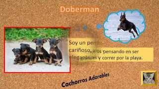 Cachorros Doberman,  Dobermann, Dobermann Pinscher