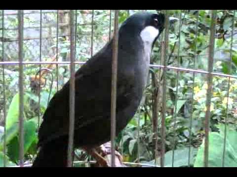 chim khieu hoT.3GP