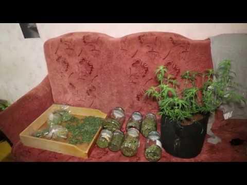 В Саранске задержан молодой «мичуринец», который выращивал плантации марихуаны в… мебельном шкафу