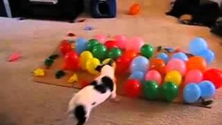 Смешная собачка и воздушные шарики