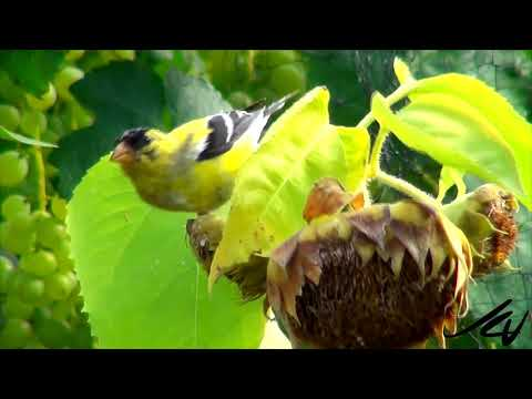 Birds might be evolving to eat from bird feeders  - YouTube