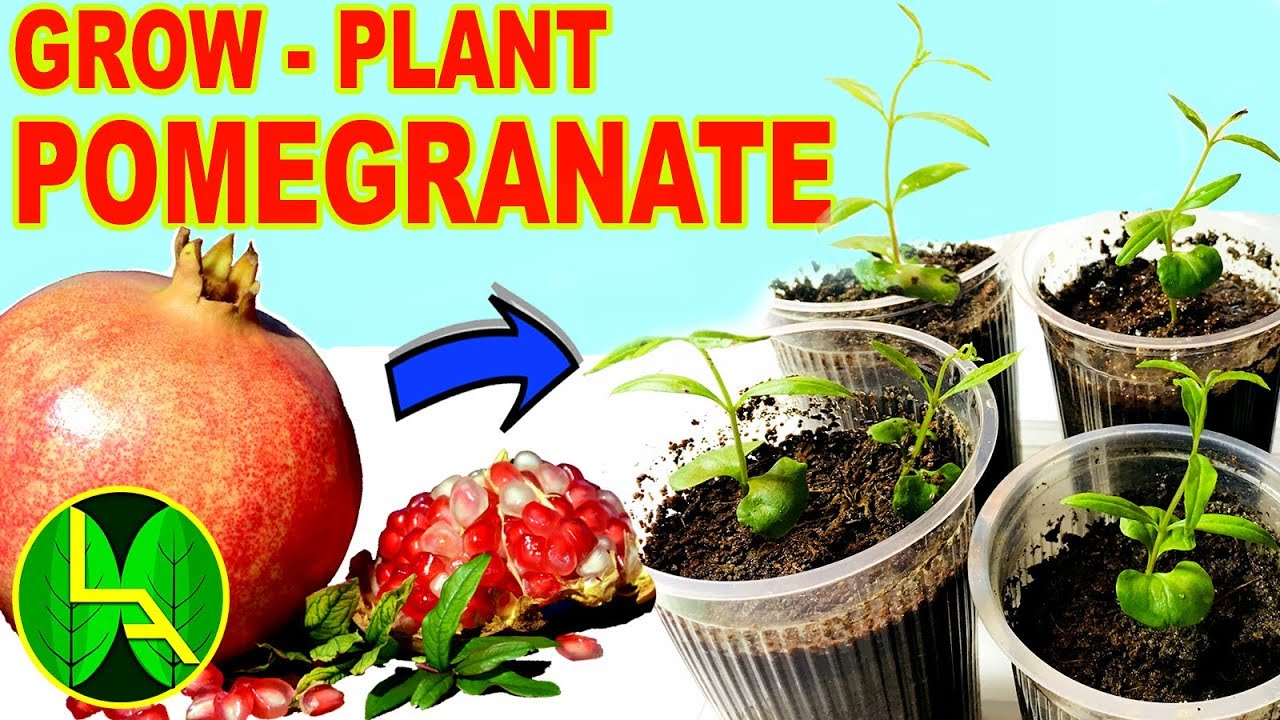 How To Grow Pomegranate Plants At Home