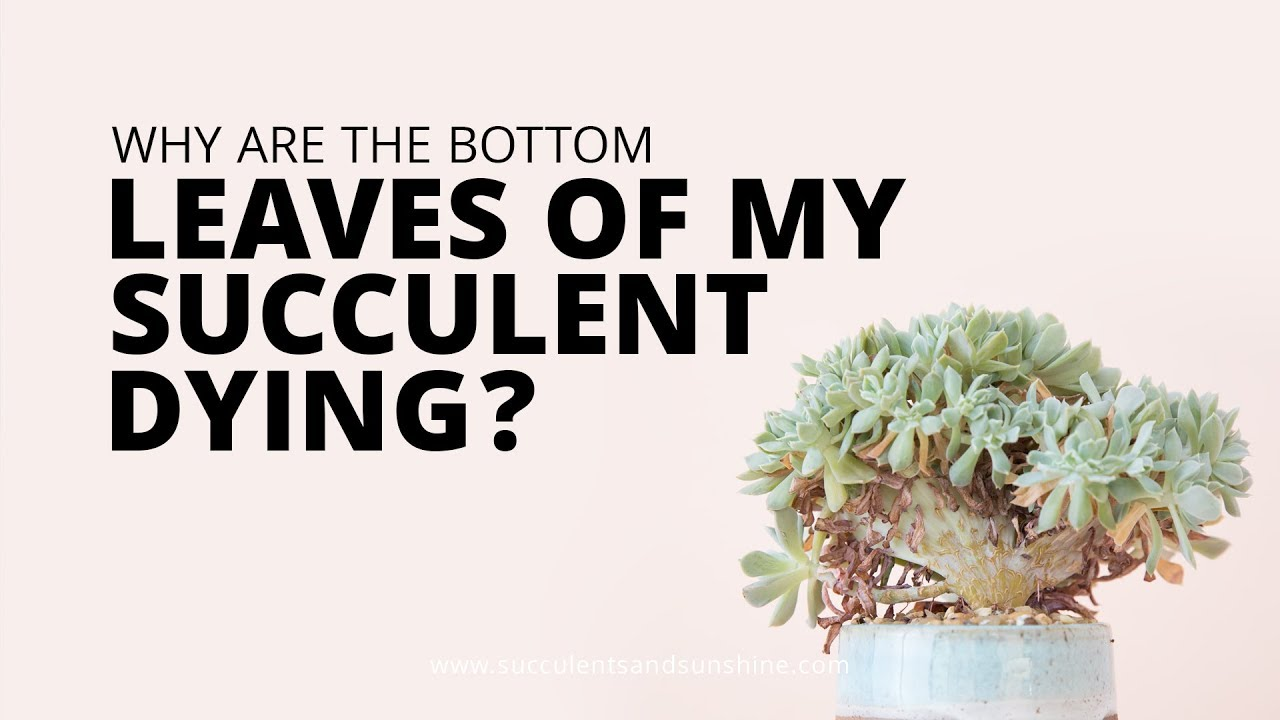 Help! My succulent is dying! | Succulents and Sunshine