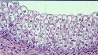Istologia 04 - Epitelio di rivestimento composto (parte 2) ed epitelio sensoriale
