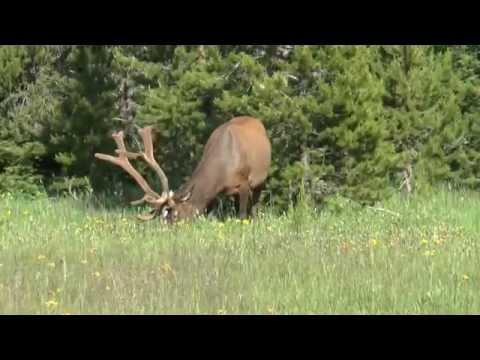 Yellowstone   7 July '14   Elk Encounter #9