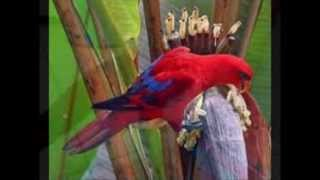Ocehan Burung Nuri | Burung Nuri Rajanya Gacor