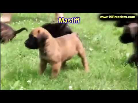 mastiff,-puppies,-dogs,-for-sale,-in-lexington,-county,-kentucky,-ky,-19breeders,-owensboro