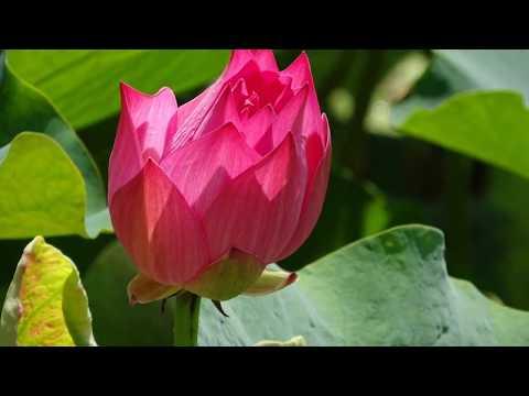 Kumpulan bunga teratai cantik