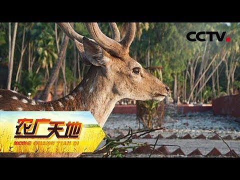《农广天地》双阳梅花鹿养殖技术 20180913 | CCTV农业