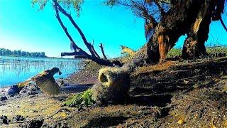 Сазаны ломают сторожки Сом утаскивает спиннинг Удачная рыбалка на Ахтубе 2020