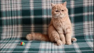 Экзотический короткошерстный котик Ирбис