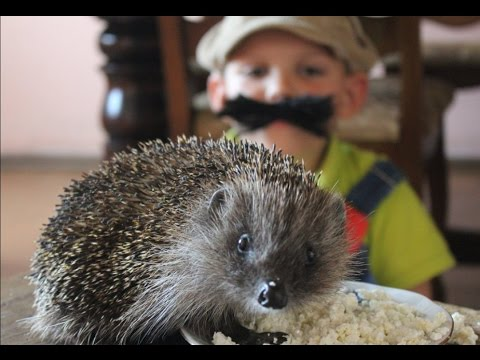 HEDGEHOG EATS COTTAGE CHEESE