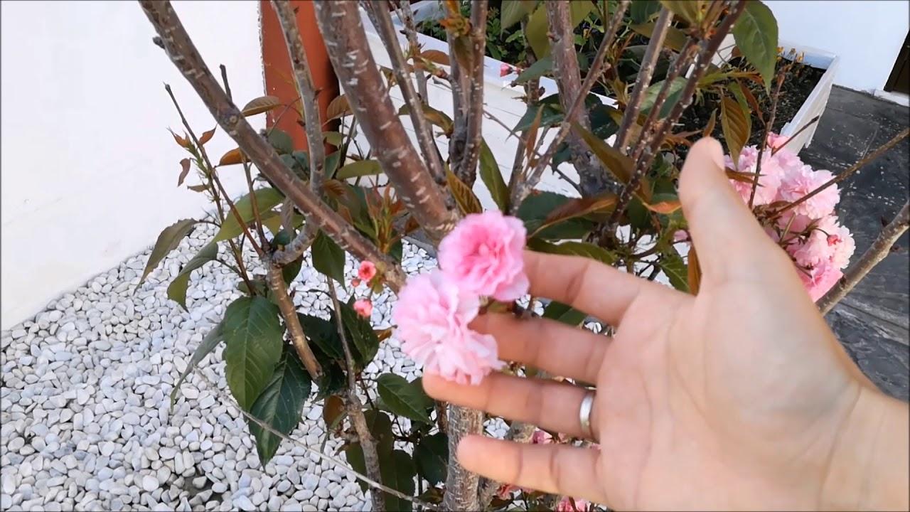 Arbol De Cerezo Japones cuidados del cerezo japones. prunus serrulata (kanzan)