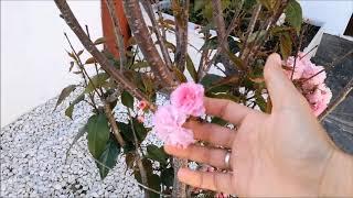 видео Сакура Канзан